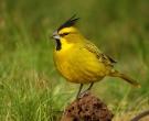 cardenal-amarillo2
